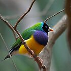 Gouldian Finch by Tom Newman