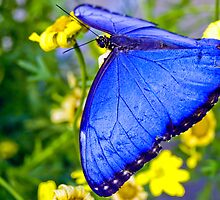 Blue Butterfly by Myron Watamaniuk