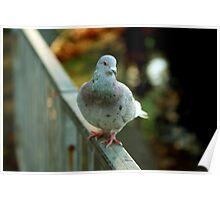 Rock Pigeon Poster