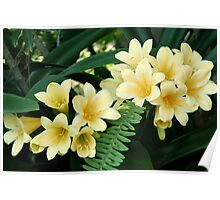 Yellow Clivias Poster
