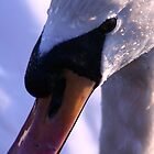 Swan close-up by Martina Fagan