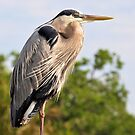 Great Blue Heron by Jeff Ore
