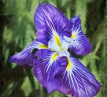 Japanese iris by Celeste Mookherjee