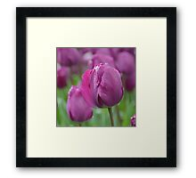Purple Tulip with Water Drops Framed Print