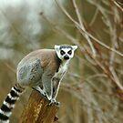Ring Tailed Lemur Monkey by Franco De Luca Calce