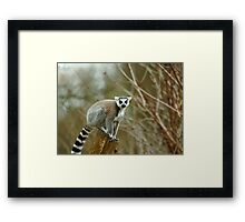 Ring Tailed Lemur Monkey Framed Print