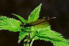 Damsel Fly Sunbathing . by SWEEPER