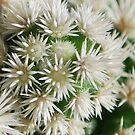 Cacti by Julie Sherlock