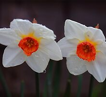 White Daffodils  by rumisw