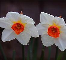White Daffodils  by Rumyana Whitcher