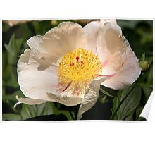 Beauty Of A Peony  Poster