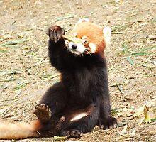 Red panda by gail
