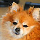 Pomeranian by Dana Yoachum
