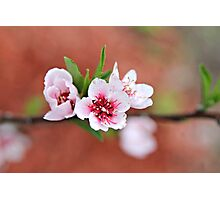 Peach Tree Petals Photographic Print