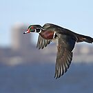 Wood Duck flight by Jim Cumming