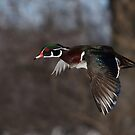 Free as a bird - Wood Duck by Jim Cumming