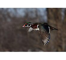 Free as a bird - Wood Duck Photographic Print