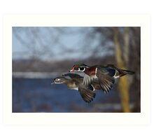 Together Forever - Wood Ducks Art Print