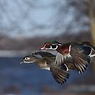 Together Forever - Wood Ducks by Jim Cumming