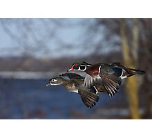 Together Forever - Wood Ducks Photographic Print
