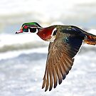 Colourful flight - Wood Duck by Jim Cumming