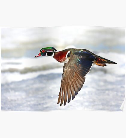 Colourful flight - Wood Duck Poster