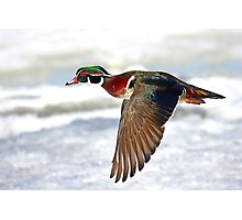 Colourful flight - Wood Duck Photographic Print