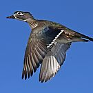 Flight of Fancy - Wood Duck by Jim Cumming