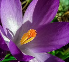 Spring Crocus by ScenicViewPics