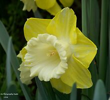 Yellow & White Daffodil by Dennis  Stanton