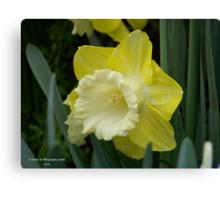 Yellow & White Daffodil Canvas Print