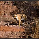 Tiger at Ranthambore by Shaun Whiteman