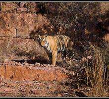 Tiger at Ranthambore by Shaun Whiteman