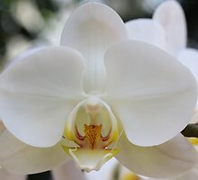 White Orchid2 by David  T Anderson