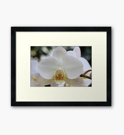 White Orchid2 Framed Print