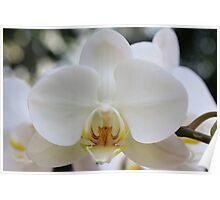 White Orchid2 Poster