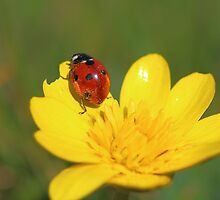 Ladybug on A Flower by Rumyana Whitcher