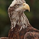 Young American Bald Eagle by Sharon Morris