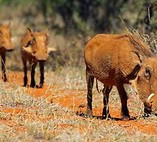 Warthog family by Explorations Africa Dan MacKenzie