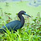 Little Blue Heron by Bonnie T.  Barry