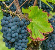 Vineyard, Kaiserstuhl, South-West Germany by Mark Bangert