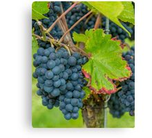 Vineyard, Kaiserstuhl, South-West Germany Canvas Print