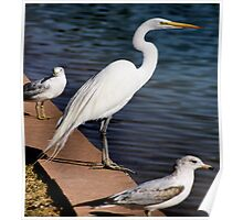 Great white heron and friends Poster
