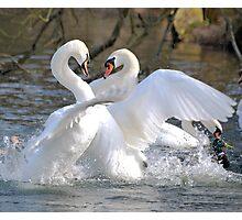 A Regal Fight Amongst Kings Photographic Print