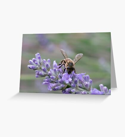 Bee on lavender flower spike Greeting Card