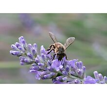 Bee on lavender flower spike Photographic Print