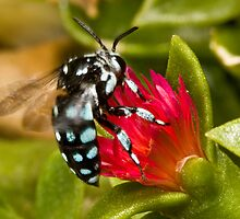 Neon Cuckoo Bee by Colin  Ewington