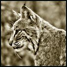 Portrait of a Bobcat  by Karen Peron