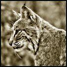 Portrait of a Bobcat  by Karen Peron