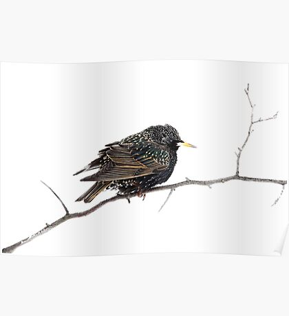 Hello Starling Poster